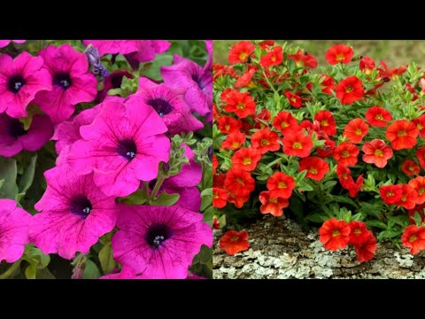 How to Sow Seeds of Petunia and Calibrachoa || Fun Gardening