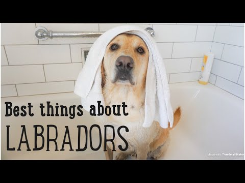 10 Best Things About LABRADORS