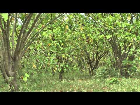 Video Jatropha Curcas - Jatrofa