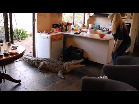 Domestic crocodile in the kitchen