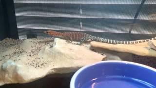Pilbara Rock Monitors Interaction & Running around the terrarium