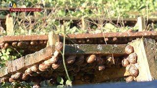 На Закарпатье открылась ферма улиток