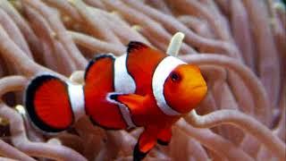 Descargar Mp3 De Ikan Badut Gratis Buentema Org