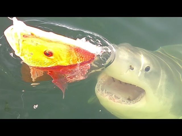 قرش أبيض يفاجئ صيادا أثناء اصطياده الأسماك في بحيرة