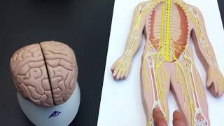 Peripheral Nervous System (PNS) lab models