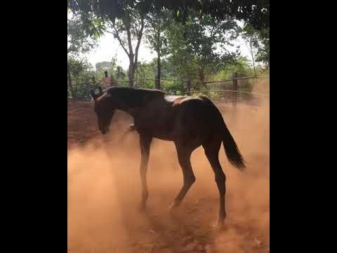 Marwari Horse Colt Darbaar