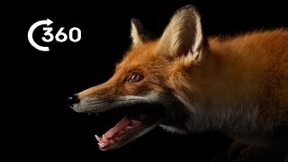 Life as a City Fox 360° | Planet Earth II | Behind The Scenes