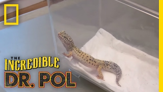 Uh Oh! Trouble for Gecko! | The Incredible Dr. Pol