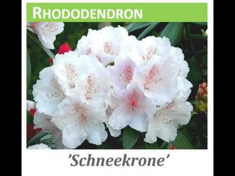 Rhododendron yak  'Schneekrone'