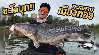 ตกปลาชะโดกลางเมืองทอง!