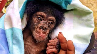 Rescue Baby chimpanzee from tree fall after mum Kllled by vile poachers