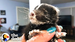 Watch These Baby Skunks Grow Big And Go Back To The Wild | The Dodo