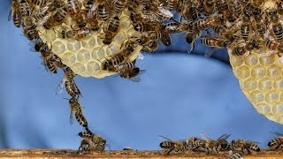 preview picture of video 'Tag der Imkerei: Honey Bees / Honigbienen'