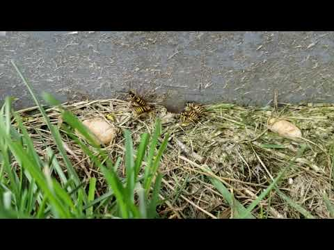 This homeowner in Eatontown, NJ was having a major issue with yellow jackets nesting underneath the concrete...