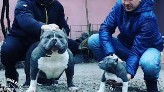American Bully Poland My Dogs import Chiny,USA,Rumunia