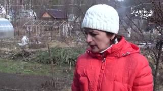 Обрезка жимолости весной видео
