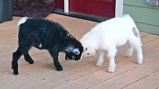 Mini Baby Goats Playing