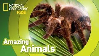 Tarantula  Amazing Animals