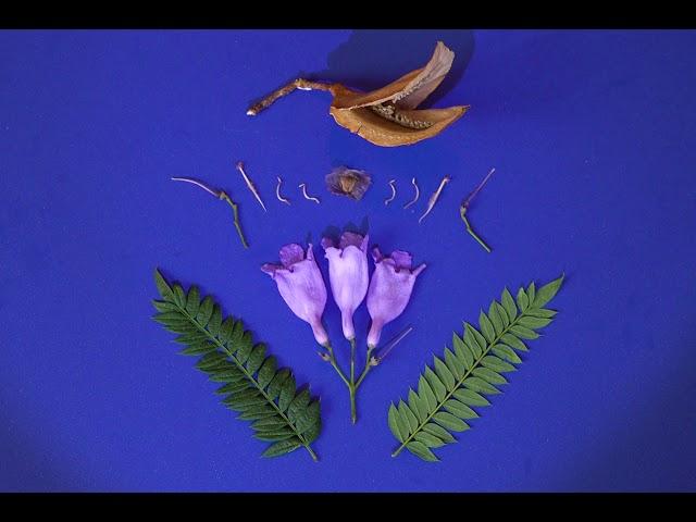 Video Pronunciation of jacaranda mimosifolia in English