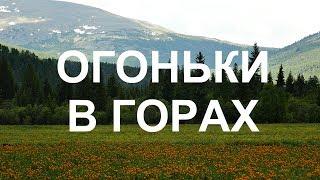 Цветущее поле купальницы Горный Алтай