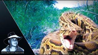 Aggressive Pythons 04 Footage