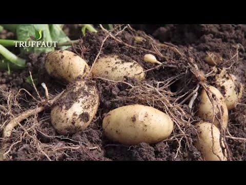 , title : 'Comment planter des pommes de terre au potager  - Truffaut