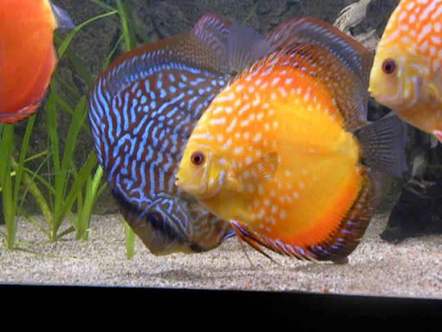 Tropical Fish Tanks - Discus Fish