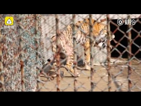 "China's Private Zoos Accused Of Poaching And ""laundering"" Wild Animals Mp3"
