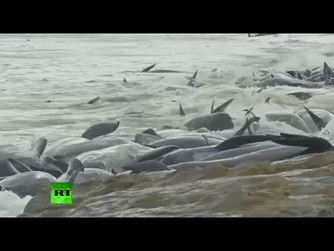 Mass Stranding: More than 140 whales die on beach in Western Australia