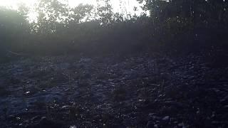 Lower Keys Marsh Rabbit - Big Pine Key July 2014