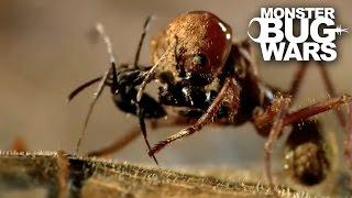Leafcutter Ant Soldier vs Speckled House Spider   MONSTER BUG WARS