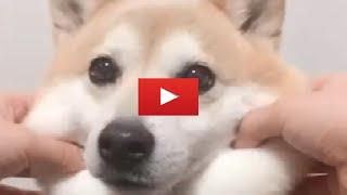 キュン死確定!!ほっぺがもちもちの犬が可愛すぎるとTwitterで話題に!!