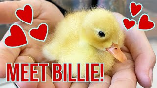 I'm Fostering a Baby Duckling, Billie!