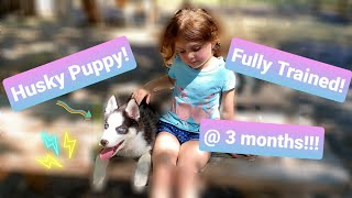 Husky Puppy Training Only 3 Months Old Training Complete!