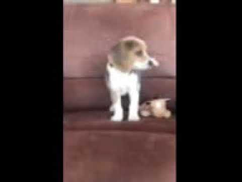 Ameila - Beagle puppy for sale
