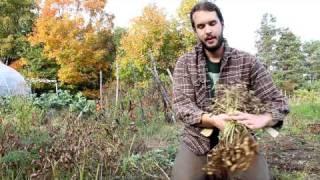 Growing Peanuts in Nova Scotia - Annapolis Seeds