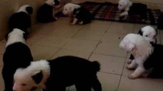 cachorros viejo pastor ingles