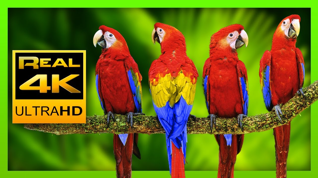 Download Colorful Macaw Parrots - Stunning Birds in 4K 🐦
