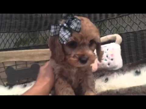 HANDSOME AND PLAYFUL CAVAPOO MALE PUPPY!