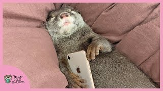 カワウソビンゴもはや子供!ママと遊び爆睡!Otter Bingo fell a slept while playing with mom