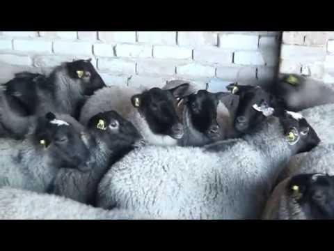 , title : 'Ramanov qo`ylari (племенные овцы романовской породы)
