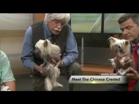 Meet The Chinese Crested Mp3