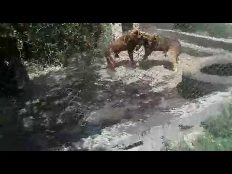 Питбуль пришел в чужой дом и напал на хозяйскую собаку