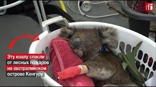 Почти 37 тысяч коал погибли в лесных пожарах на австралийском острове Кенгуру