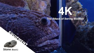 【Animal FPV】4K The Attack of Bering Wolffish 【アニマルFPV】