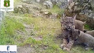 Endangered Iberian Lynx Killed By Poachers