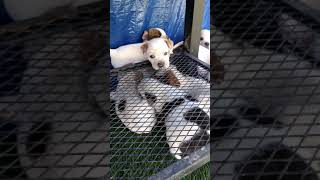 Blue Healer Puppies Videos