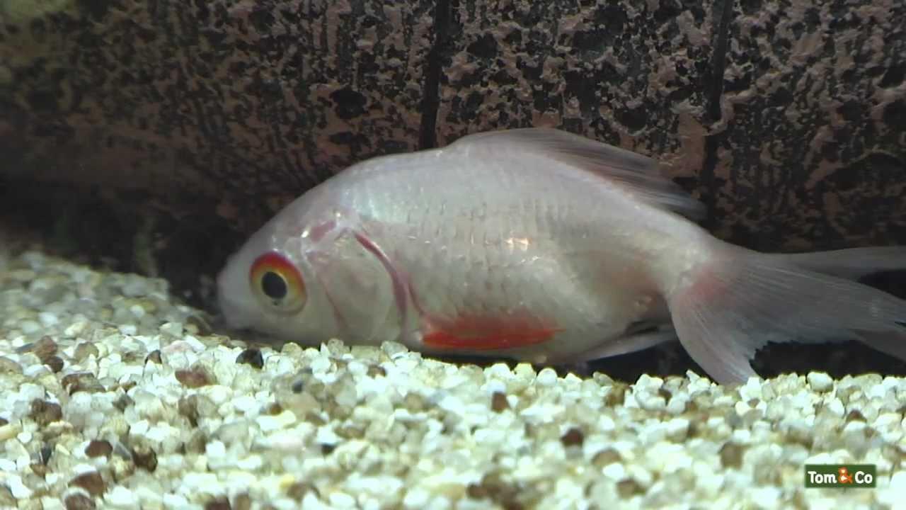 Zieke vis