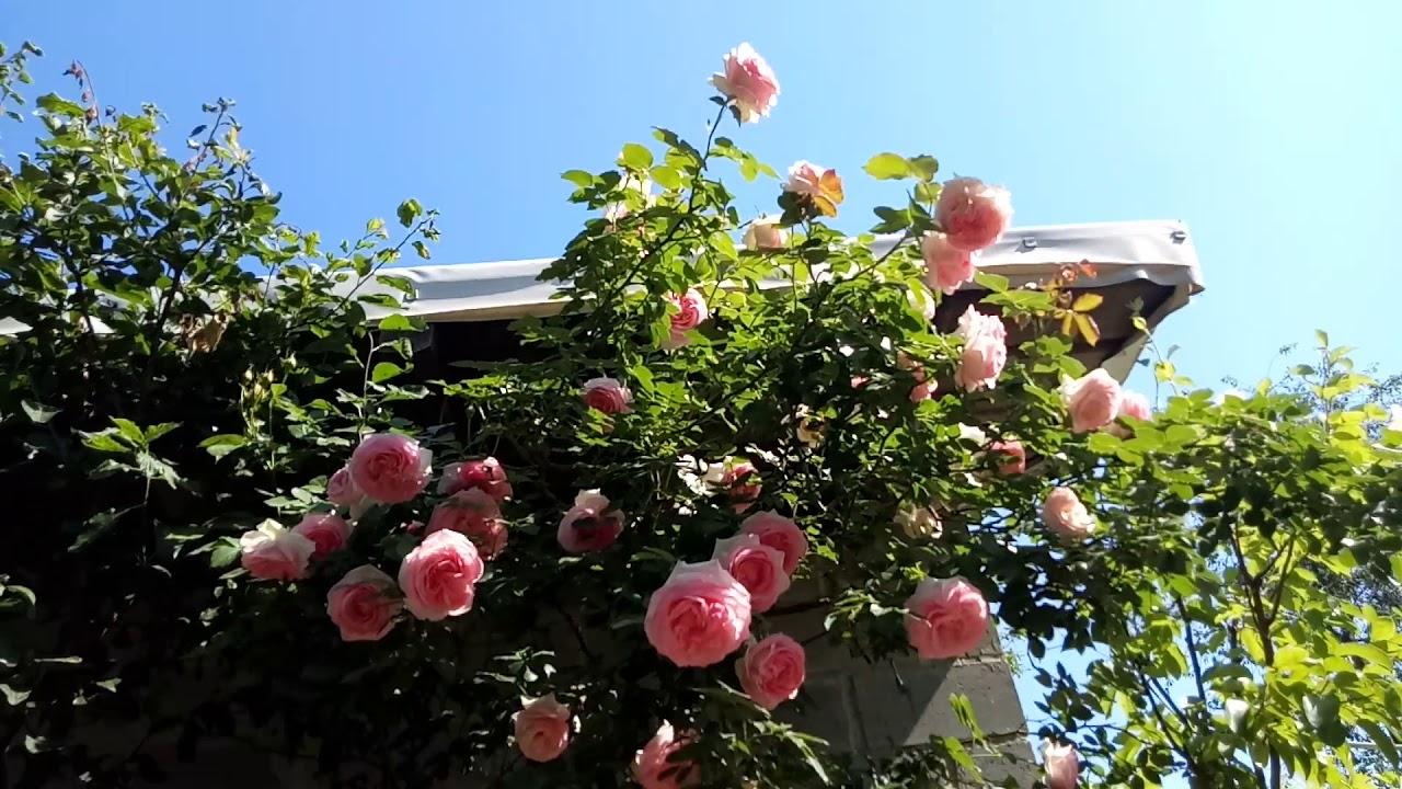 Плетистая роза Eden Rose(Эден Роуз)или Pierre de Ronsard - сезон 2019. Ответы на вопросы.