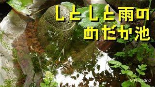 【4K】メダカさんのビオトープ「6月 しとしと雨のめだか池」Crepe's Biotope
